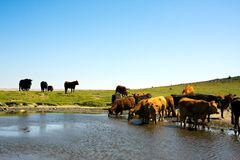 табун коров Стоковое фото RF
