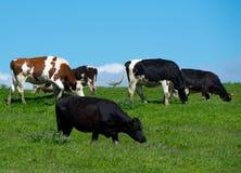 Табун коров Стоковое Изображение RF