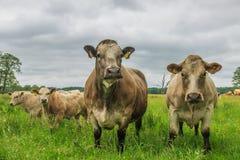 Табун коров Charolais Стоковое фото RF