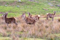 Табун красных оленей увиденных в шотландском луге в amon расчистки стоковые фотографии rf