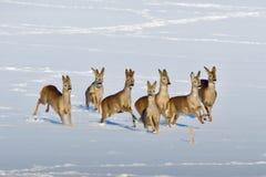 Табун красных оленей стоковая фотография
