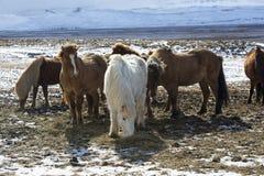 Табун красочных исландских лошадей на луге Стоковое Фото