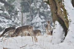 табун ланей наблюдая в белом снежном лесе в зиме стоковое фото