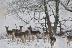 табун ланей наблюдая в белом снежном лесе в зиме стоковое изображение rf