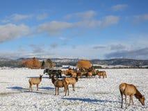 Табун лося и сани лошади вычерченные вне Donalley, Айдахо стоковое изображение rf