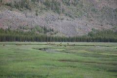 Табун лося национального парка Йеллоустона вдоль реки Maddison стоковые изображения rf