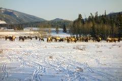 Табун лося подавая в предыдущем весеннем времени на снеге покрыл предгорья Альберты стоковые изображения