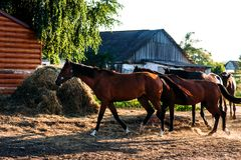 Табун лошадей бежать в пыли стоковые изображения rf
