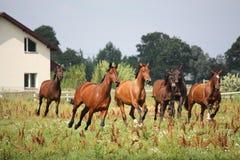 Табун лошади работая свободно на поле Стоковая Фотография
