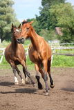Табун лошади работая свободно на поле Стоковые Фотографии RF