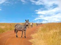 Табун любознательних зебр смотря и стоя Стоковое Изображение RF