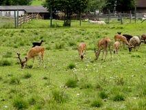Табун молодых прогулок животных Стоковая Фотография