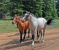 Табун мустанга дикой лошади в горах Pryor в Монтане Стоковое Изображение