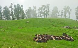 Табун овец в луге Стоковое Фото