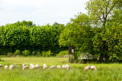 Табун овец в луге Стоковые Изображения