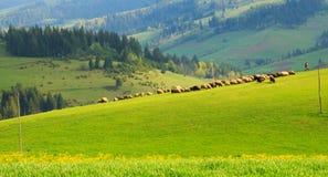 Табун овец на изумрудной лужайке в прикарпатских горах стоковая фотография rf