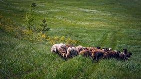 Табун овец на поле стоковые изображения rf