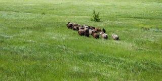 Табун овец на поле стоковая фотография rf
