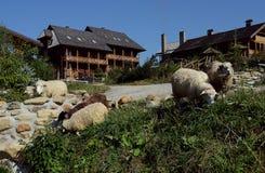 Табун овец пасет на наклонах против фона красивых деревянных домов стоковая фотография rf