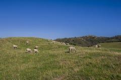 Табун овец пася траву Стоковое фото RF
