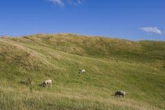 Табун овец пася траву Стоковое Изображение RF