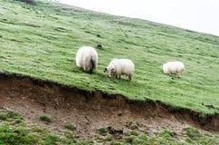 Табун овец Стоковое фото RF
