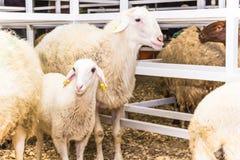 Табун овец Стоковые Изображения RF