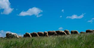 Табун овец Стоковая Фотография RF