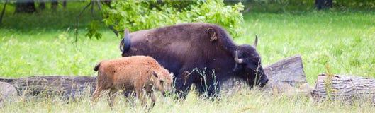 Табун одичалого бизона пася в поле Стоковая Фотография RF