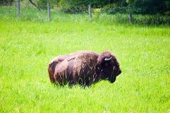 Табун одичалого бизона пася в поле Стоковые Изображения