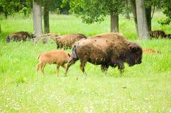 Табун одичалого бизона пася в поле Стоковые Изображения RF
