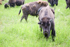 Табун одичалого бизона пася в поле Стоковое Изображение RF