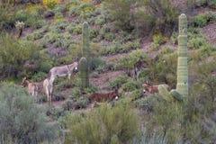 Табун одичалых Burros в Аризоне Стоковое Фото