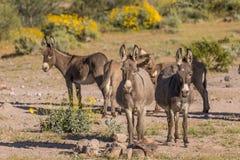 Табун одичалых Burros в пустыне Стоковые Изображения