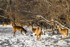 Табун оленей ища еда в снежном лесе стоковое фото rf