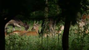 Табун оленей наслаждаясь днем лет стоковое изображение rf