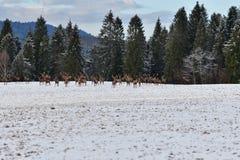 Табун оленей рогача и Харта наблюдая на horizont в лесе снежной белизны в зиме Стоковая Фотография RF