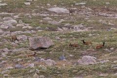 Табун лося на Timberline в лете Стоковое фото RF