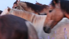 Табун лошадей бежать в поле видеоматериал