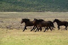Табун лошадей бежать через луг Стоковое Изображение