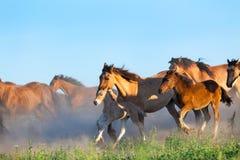 Табун лошадей бежит в выгоне в лете Стоковые Фотографии RF
