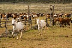 Табун лошадей будучи округлянным до загона Стоковое Фото