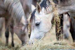 Табун лошадей есть сено. Стоковые Изображения