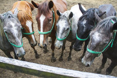 Табун лошадей представляя на выгоне Стоковое фото RF
