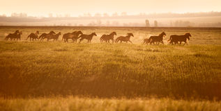 Табун лошадей скакать через открытое поле в солнечности стоковое фото