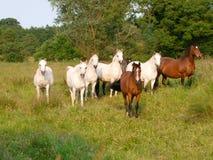 Табун лошадей Стоковая Фотография