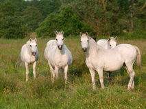 Табун лошадей Стоковые Фото