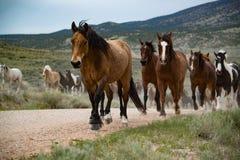Табун лошади залива ведущий лошадей вдоль грязной улицы Стоковые Фото