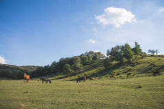 Табун лошади на зеленом выгоне Стоковые Фотографии RF