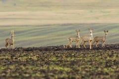 Табун оленей косуль на аграрном поле стоковая фотография